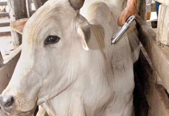 Produtores não precisarão mais vacinar gado contra aftosa
